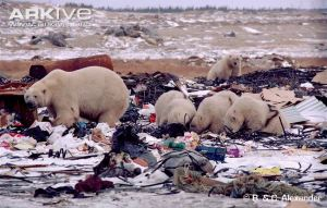 polar-bears-scavenging-on-rubbish-dump